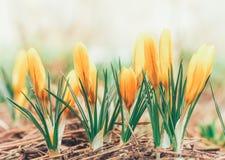 A mola bonita floresce açafrões amarelos Imagens de Stock