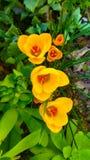 A mola bonita floresce açafrões amarelos foco seletivo, foto macro Imagens de Stock