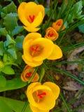A mola bonita floresce açafrões amarelos na floresta foco seletivo, foto macro Imagens de Stock