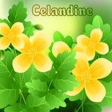 A mola bonita floresce o Celandine cartões ou seu projeto com espaço para o texto Vetor Fotos de Stock