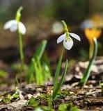 A mola bonita floresce - o snowdrop e o açafrão amarelo Foto de Stock Royalty Free