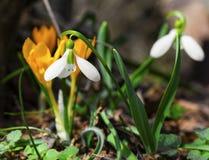 A mola bonita floresce - o snowdrop e o açafrão amarelo Imagem de Stock Royalty Free