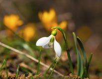 A mola bonita floresce - o snowdrop e o açafrão amarelo Imagem de Stock