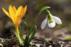 A mola bonita floresce - o snowdrop e o açafrão amarelo Fotografia de Stock