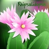 A mola bonita floresce Rhipsalidopsis cartões ou seu projeto com espaço para o texto Vetor Imagens de Stock Royalty Free