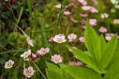 A mola branca cor-de-rosa pequena floresce com as folhas na grama verde, foto da mola Campo de flores da grama no fundo da nature fotos de stock royalty free