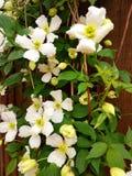 Mola branca da flor Fotos de Stock Royalty Free