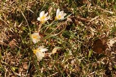 Mola branca das flores selvagens do açafrão de Snowdrops primeira Imagens de Stock Royalty Free