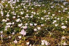 Mola branca das flores selvagens do açafrão de Snowdrops primeira Foto de Stock Royalty Free