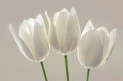 A mola branca floresce tulipas Foto de Stock Royalty Free