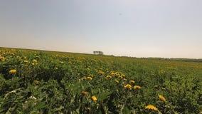 Mola campo verde bonito em dentes-de-leão amarelos video estoque
