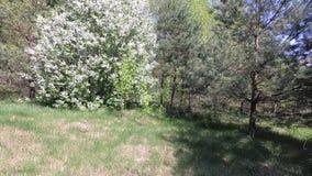 Mola cereja nas flores brancas Florescência de árvores de fruto video estoque