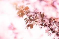 Mola Cherry Blossom Foto de Stock Royalty Free