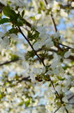 Mola Cherry Blossom Imagem de Stock Royalty Free