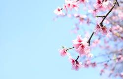 Mola Cherry Blossoms foto de stock