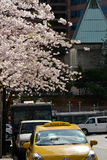 Mola Cherry Blossoms de Vancôver canadá Imagens de Stock Royalty Free