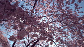 Mola Cherry Blossoms e alargamento 4K de Sun UHD filme