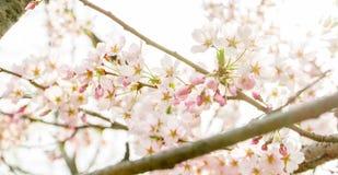 Mola Cherry Blossoms na cidade Coreia de Seoul Foto de Stock