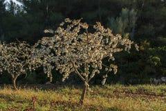 A mola começa e as árvores de fruto começam a florescer Imagens de Stock