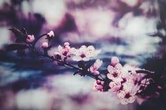 A mola cor-de-rosa bonita floresce em um ramo de árvore Foto de Stock