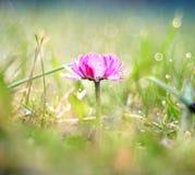 A mola cor-de-rosa bonita floresce o macro Fotografia de Stock Royalty Free