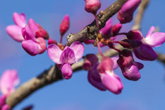 Mola - crescimento novo e flores em uma árvore de Redbud Fotografia de Stock Royalty Free