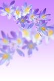Mola da íris que floresce no fundo borrado Imagens de Stock
