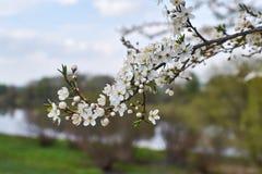 Mola da flor de cerejeira Imagem de Stock