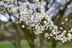 Mola da flor de cerejeira Fotos de Stock Royalty Free