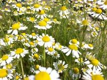 Mola das flores Imagens de Stock Royalty Free