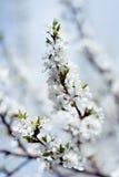 Mola das flores de cerejeira Foto de Stock