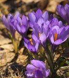 Mola de florescência do açafrão roxo Fotografia de Stock