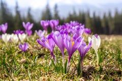 A mola de florescência floresce o açafrão que cresce nos animais selvagens Foto de Stock Royalty Free