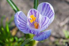 A mola de florescência floresce o açafrão que cresce nos animais selvagens Crescimento roxo do açafrão Imagens de Stock Royalty Free
