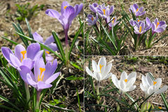 A mola de florescência floresce o crescimento do açafrão Fotos de Stock