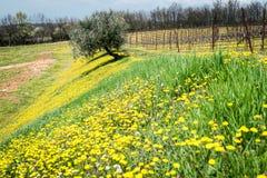 Mola de florescência nos montes italianos Imagem de Stock