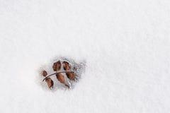 A mola de lâmina emergiu de debaixo da neve Fotografia de Stock