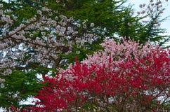Mola de Sakura no T?quio fotografia de stock royalty free