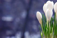Mola delicada das flores brancas Foto de Stock Royalty Free