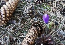 A mola do açafrão floresce Bulgária Fotografia de Stock Royalty Free