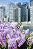 A mola do açafrão floresce no jardim urbano com construções modernas no fundo Foto de Stock Royalty Free