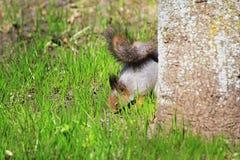 Mola do esquilo nas madeiras Imagem de Stock