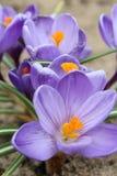 A mola dos açafrões floresce o açafrão, florescendo em circunstâncias naturais Close-up Macro Fotografia de Stock