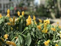 A mola em Hong Kong lá é uma variedade de florescência das flores Foto de Stock