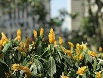 A mola em Hong Kong lá é uma variedade de florescência das flores Fotografia de Stock
