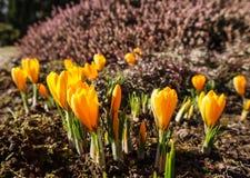 Mola em meu jardim Os primeiros a?afr?es amarelos no dia ensolarado fotos de stock