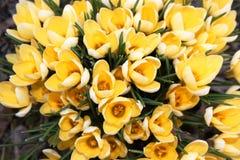 Mola Em um dia ensolarado os açafrões amarelos floresceram Imagem de Stock Royalty Free