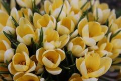 Mola Em um dia ensolarado os açafrões amarelos floresceram Imagem de Stock