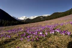 A mola está ligada O açafrão de florescência floresce nas montanhas de Tatra, vale de Chocholowska Paisagem da mola Beleza na nat Imagens de Stock