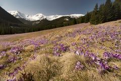 A mola está ligada O açafrão de florescência floresce nas montanhas de Tatra, vale de Chocholowska Paisagem da mola Beleza na nat Fotografia de Stock